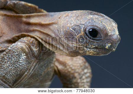 Aldabra giant tortoise / Aldabrachelys gigantea