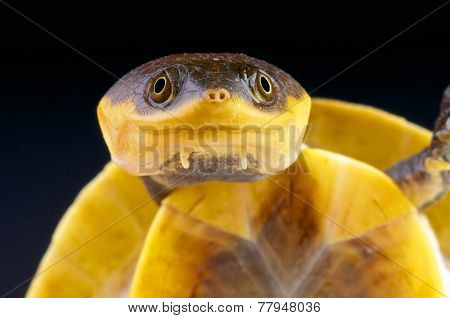 Amazon toad-headed turtle