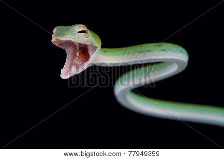 Attacking snake / Ahaetulla nasuta