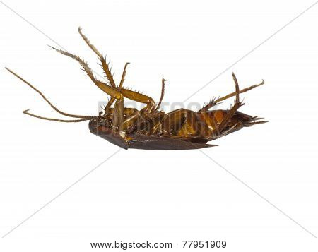 Dead Cockroach Isolated