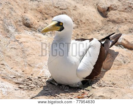Masked Booby sitting on rock, Socotra archipelago