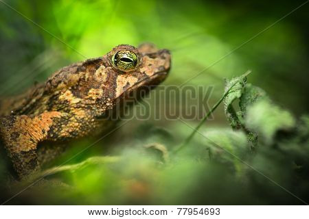 toad in the Amazon rain forest. Small frog Rhinella typhonius in the tropical rain forest. Amphibian species lives in the rainforest of Peru Bolivia, Brazil Ecuador, Colombia