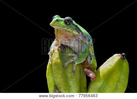 Hyla (tree Toad)