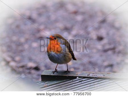 A Cute Wee Robin.