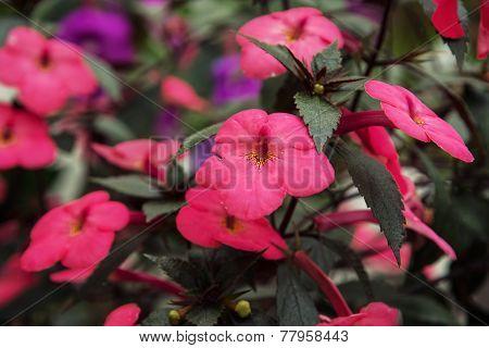 Achimenes Purple Flowers
