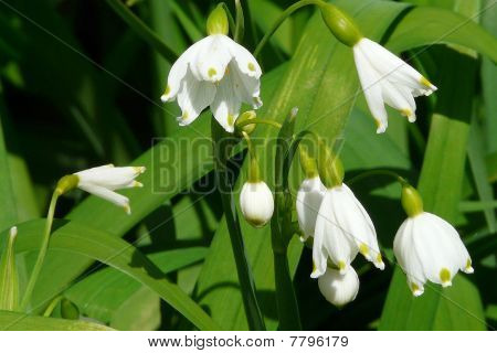 Close-up Snowflake Cowbell or Lily-of-the Valley Flowers