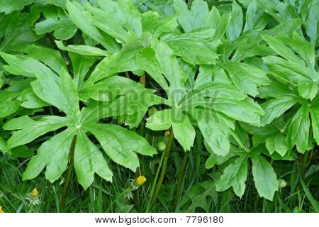 Close-up Mayapple Leaves