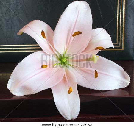 Soft Pink Lily