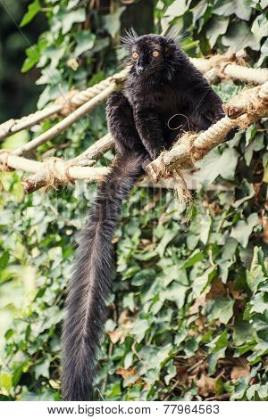 Black Lemur (eulemur Macaco)