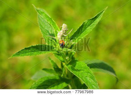 Ladybug On Green Mint Leaves