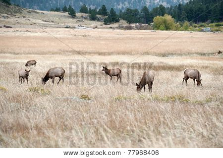 North American Elk Cow