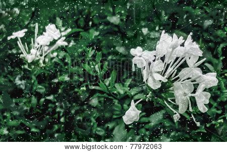Jasmine Flowers And Plants Grunge Style
