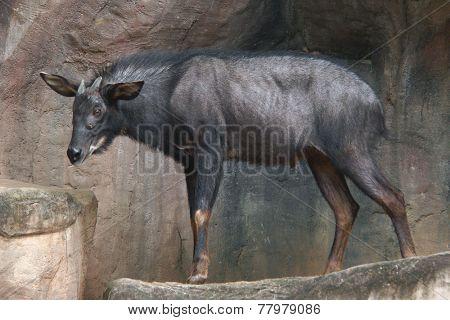 Mainland serow (Capricornis milneedwardsii)