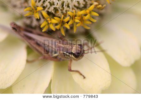 Cricket on zinnia