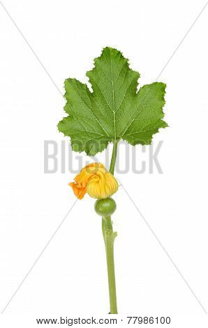 Courgette And Leaf