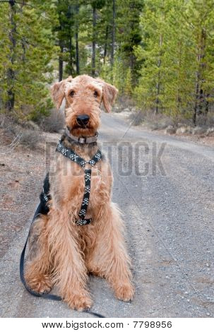 Airedale Terrier Dog On A Forrest Road