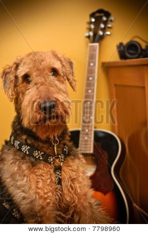 Airedale Terrier Dog In Music Studio With Guitar