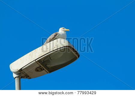 Gull On Lampposts