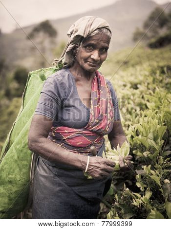 Tea picker picks leaves as she looks at the camera.