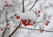 picture of rowan berry  - Red Rowan Berries Covered With Fresh Snow - JPG