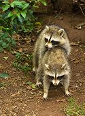 stock photo of coitus  - Two small raccoons mating in the wild - JPG