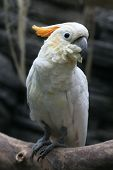 stock photo of cockatoos  - Citron - JPG