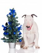 picture of christmas puppy  - english bull terrier puppy on white with a christmas tree - JPG