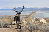 foto of antelope  - antelope statue on Antelope Island in the great salt lake - JPG