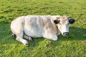 Photo of ruminating cow lying in grass.