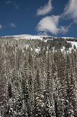 stock photo of blanket snow  - Trees blanketed with snow with a blue sky along Trail Ridge Road in Rocky Mountain National Park in Colorado