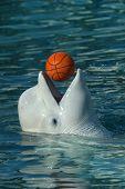 picture of cetacea  - Beluga whale  - JPG