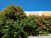 pic of creeper  - Green blooming creeper plant on the wall with clear deep blue sky background - JPG
