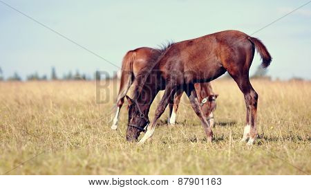 Two Foals On A Meadow.