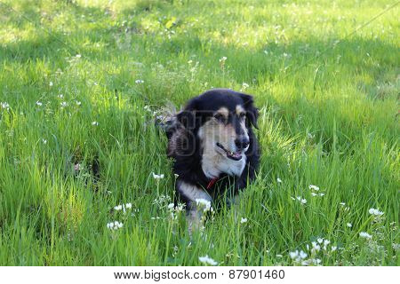 Dog Relaxing in Spring Grass