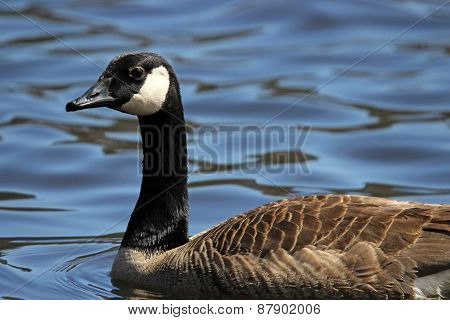 Canada Goose on a Lake
