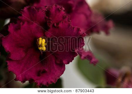 Burgundy Flower Violet