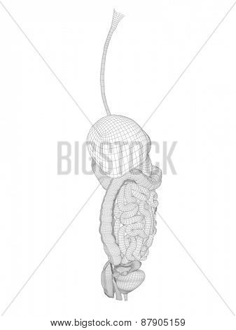 Concept or conceptual anatomical human woman 3D wireframe mesh digestive system isolated on white background