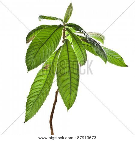 sapling medlar isolated on a white background