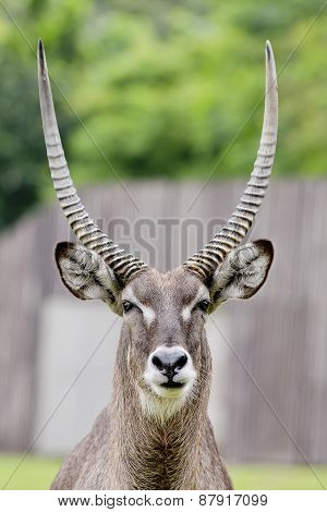 Close Up Portrait Of An Impala Ram