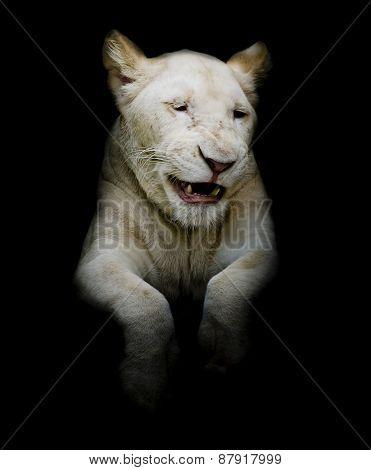 Cuties White Lion