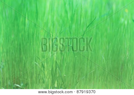 Earl spring soft tall grass abstract. Focus is on twisted grass tip in the middle. Extremely shallow focus.