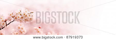 Upward cherry blossom branch with beautiful pastel spring pink background.