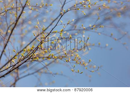 Leaves Of Birch In Spring