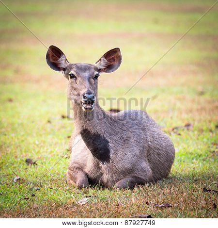 Female of the Sambar deers.