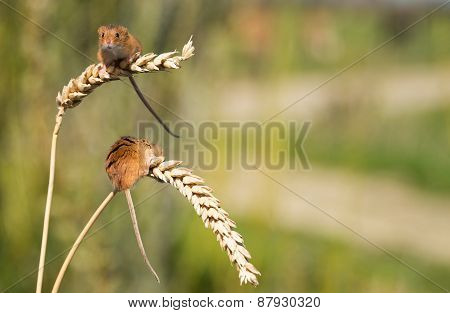 A Pair Of Tiny Harvest Mice On Ears Of Corn