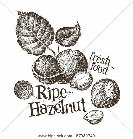 hazelnut vector logo design template. fresh walnut, food or nut icon.