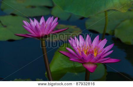 Twin lotus in lake