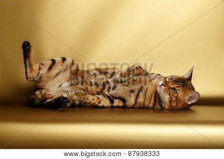 Bengal Cat on Gold background and playing