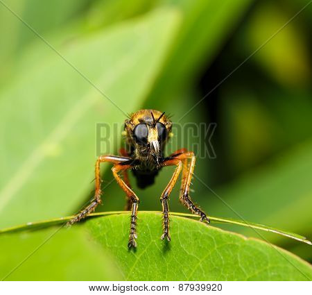 Asilidae Robber Fly In Face Close Up