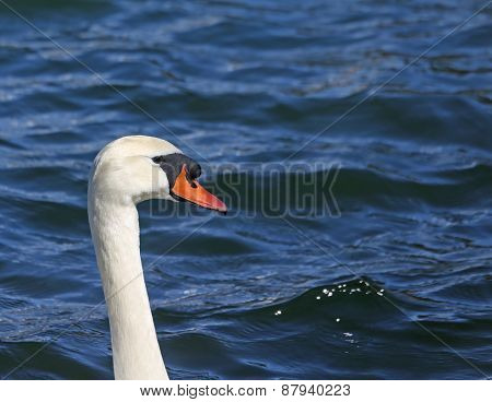 Neck Of Cygnus With The Orange Beak In The Pond
